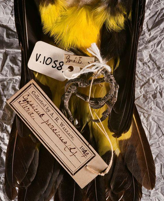 mustard yellow feathers